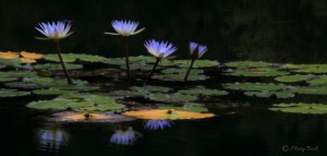 purple lilies on a pond Composing in a Digital SLR Camera